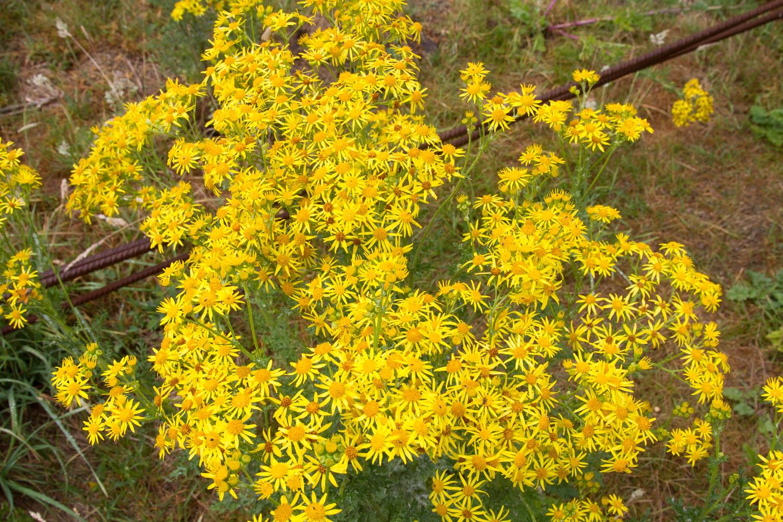 Wildblumen Kläranlage Emschermündung
