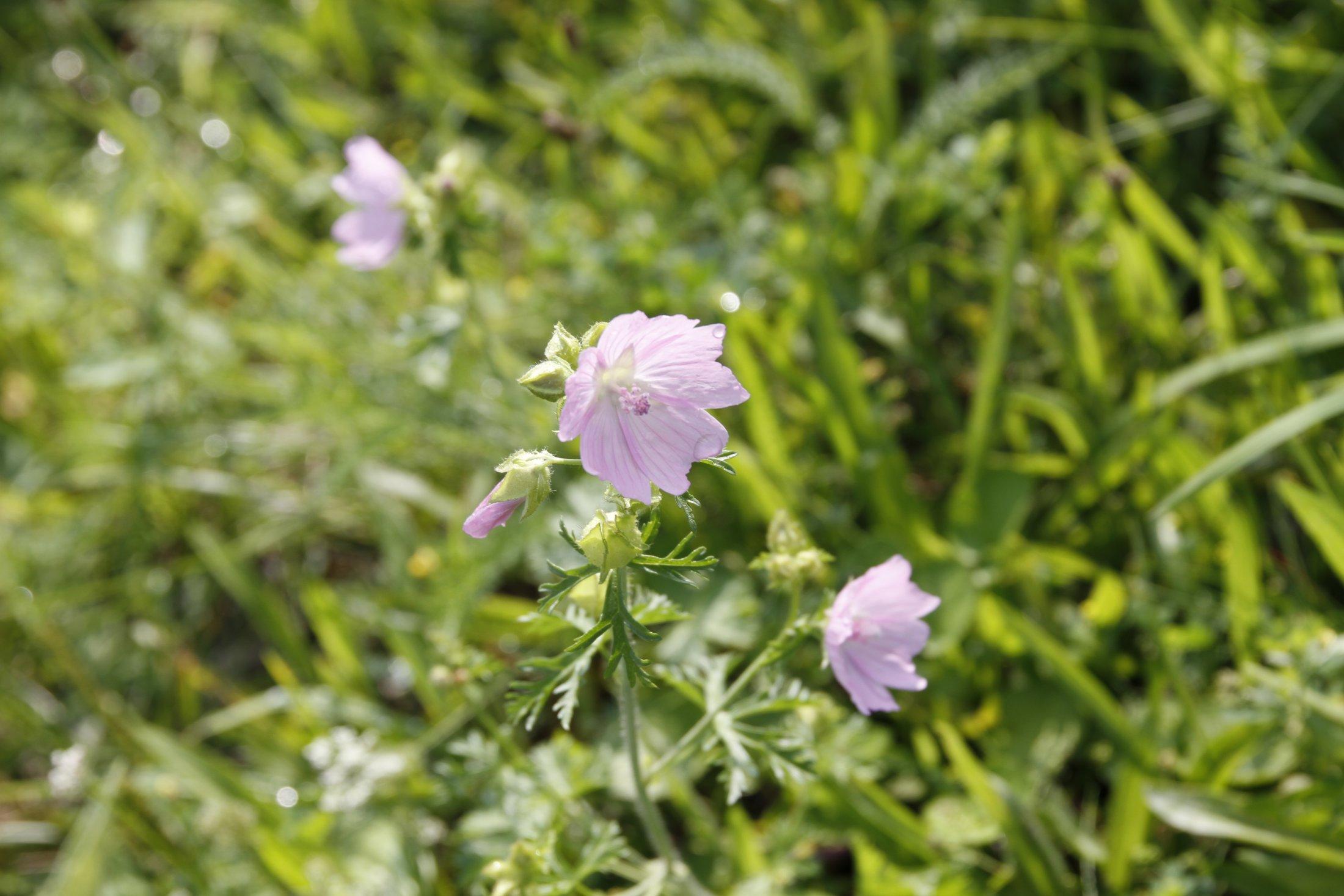 Wildblumen Kläranlage Do-Deusen