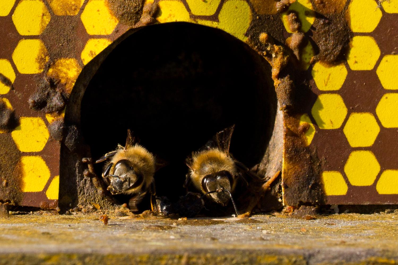 Bienen-1
