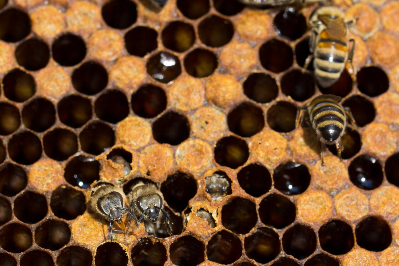 Bienen-6