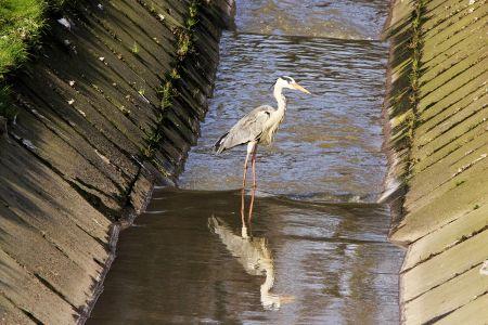 Fischreiher in Essen Kray