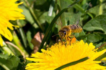 Bienen-10
