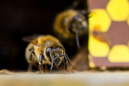 Bienen-11