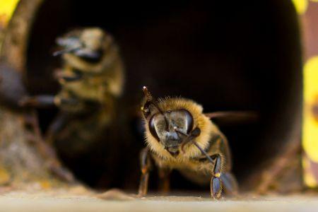 Bienen-12