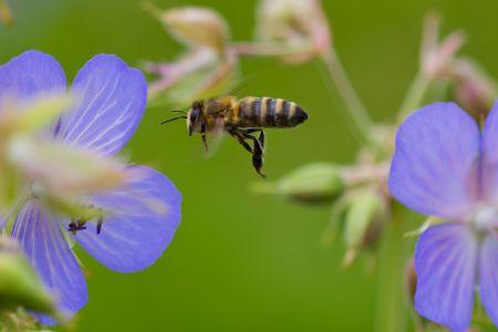 Bienen-13