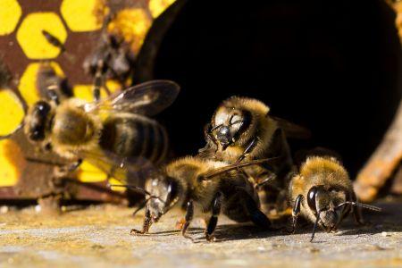 Bienen-3