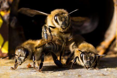 Bienen-4