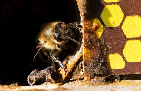 Bienen-5